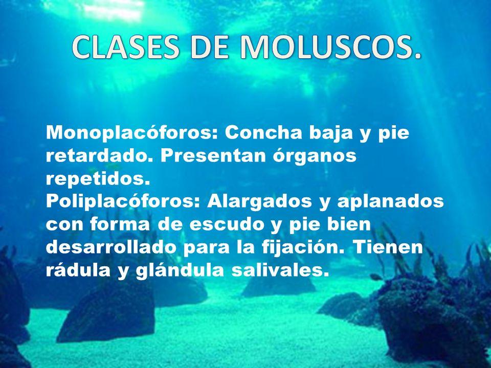 CLASES DE MOLUSCOS. Monoplacóforos: Concha baja y pie retardado. Presentan órganos repetidos.