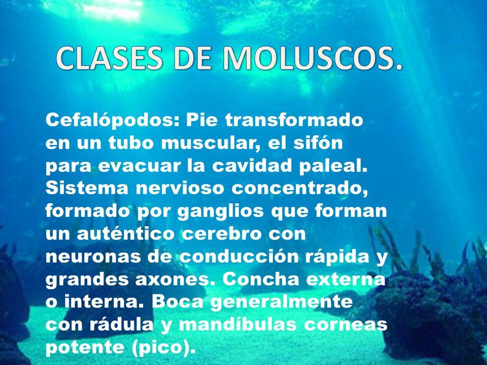 CLASES DE MOLUSCOS.