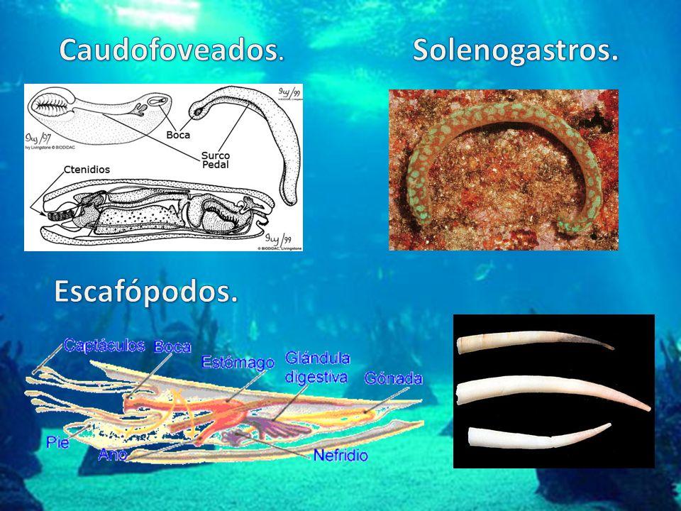 Caudofoveados. Solenogastros. Escafópodos.