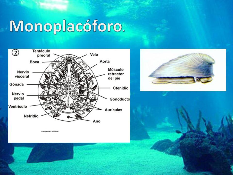 Monoplacóforo.