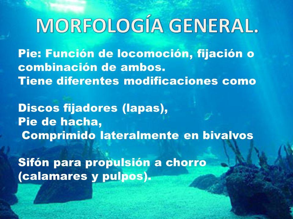 MORFOLOGÍA GENERAL. Pie: Función de locomoción, fijación o combinación de ambos. Tiene diferentes modificaciones como.
