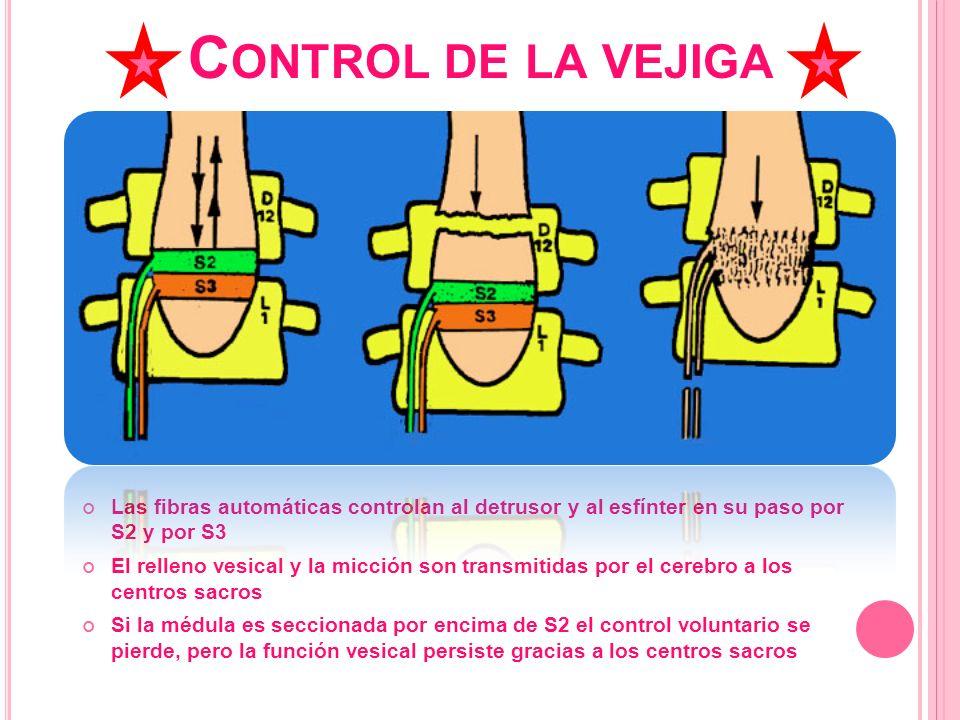 Control de la vejiga Las fibras automáticas controlan al detrusor y al esfínter en su paso por S2 y por S3.