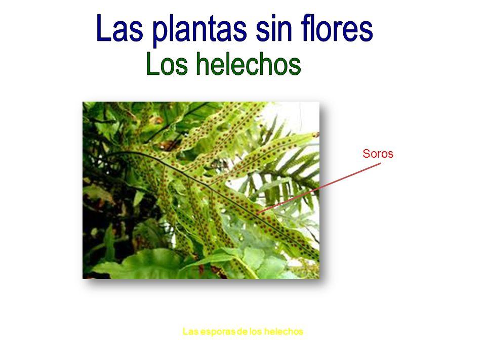 Las plantas sin flores Los helechos Soros Las esporas de los helechos