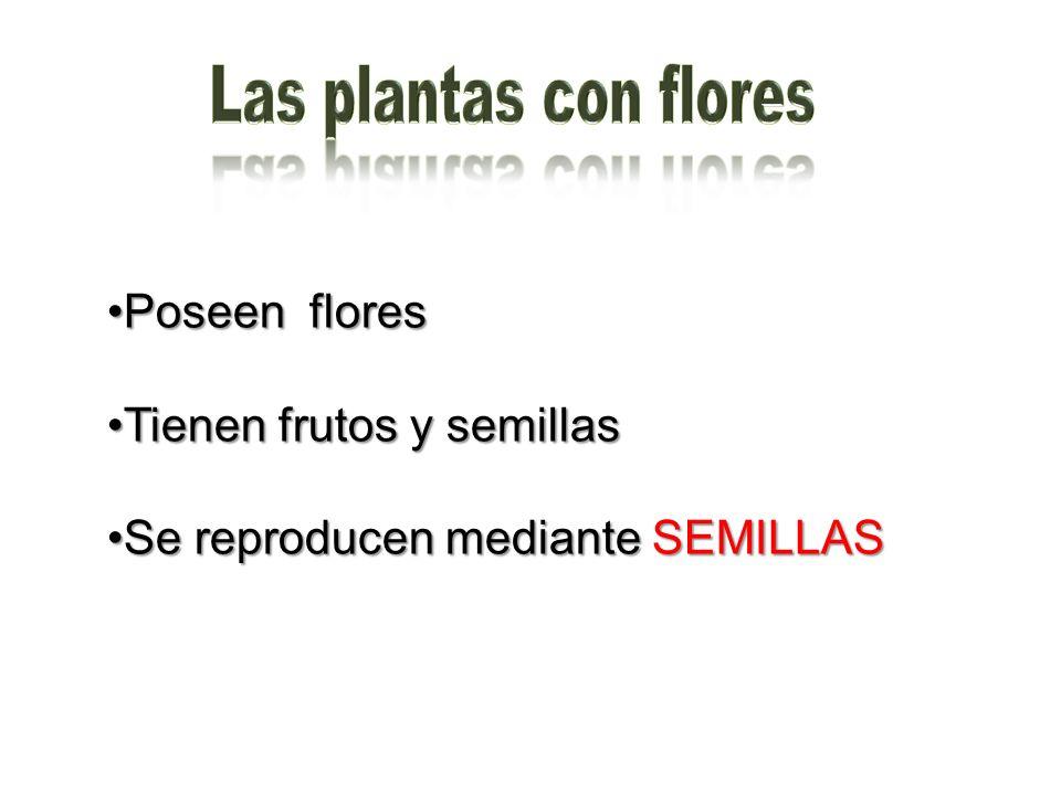 Las plantas con flores Poseen flores Tienen frutos y semillas
