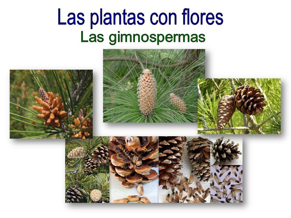 Las plantas con flores Las gimnospermas