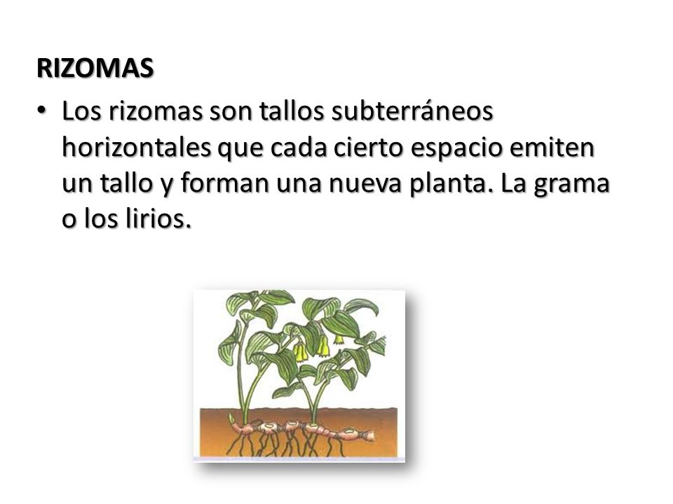 RIZOMAS Los rizomas son tallos subterráneos horizontales que cada cierto espacio emiten un tallo y forman una nueva planta.