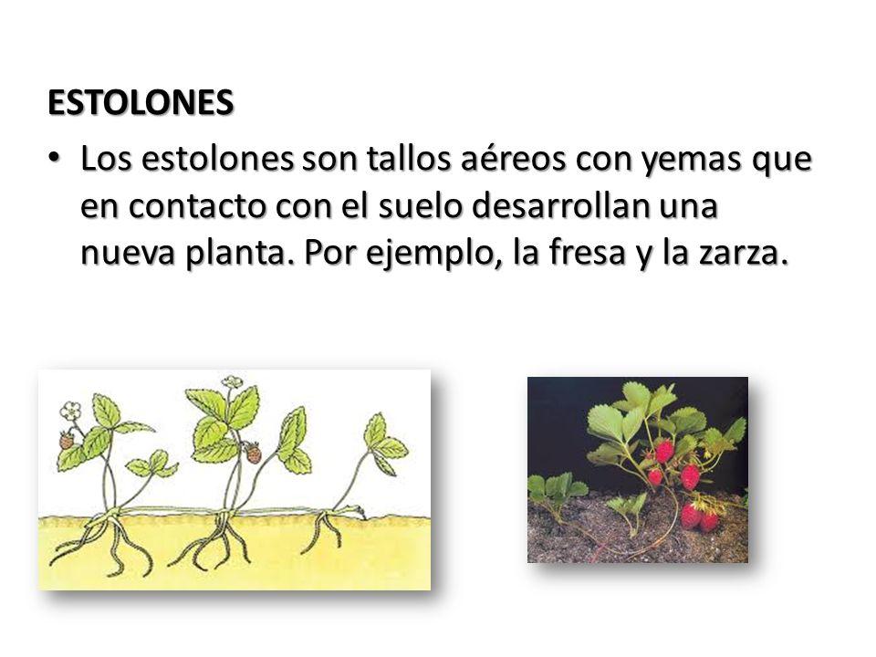 ESTOLONESLos estolones son tallos aéreos con yemas que en contacto con el suelo desarrollan una nueva planta.