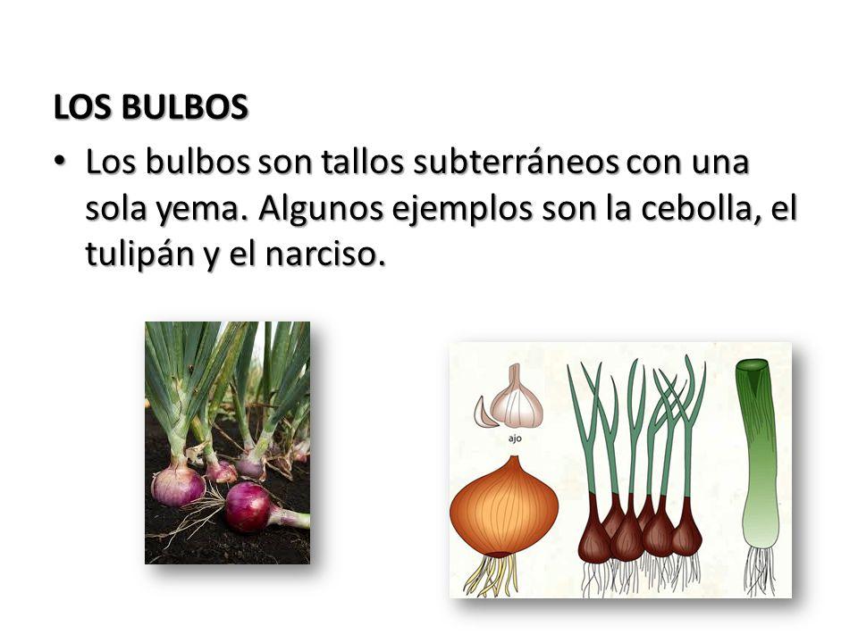 LOS BULBOS Los bulbos son tallos subterráneos con una sola yema.