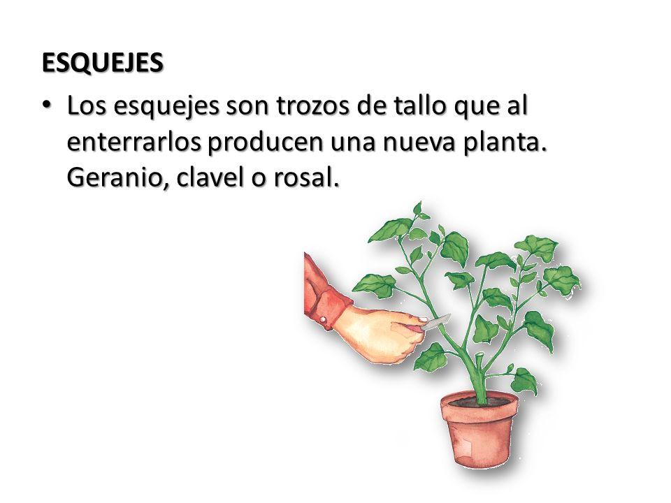 ESQUEJESLos esquejes son trozos de tallo que al enterrarlos producen una nueva planta.