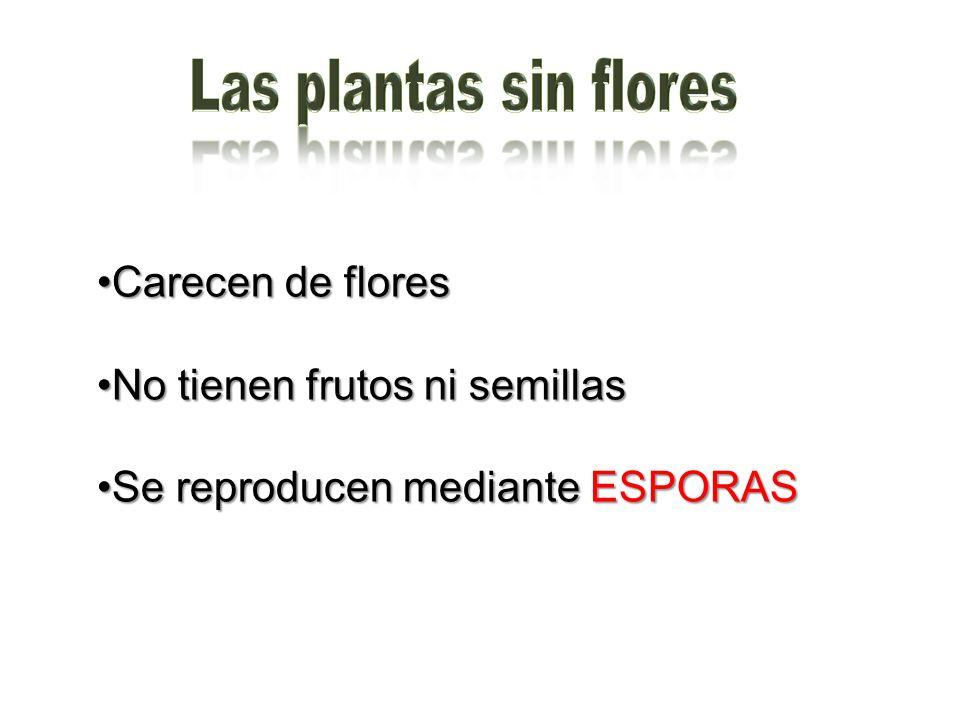 Las plantas sin flores Carecen de flores No tienen frutos ni semillas