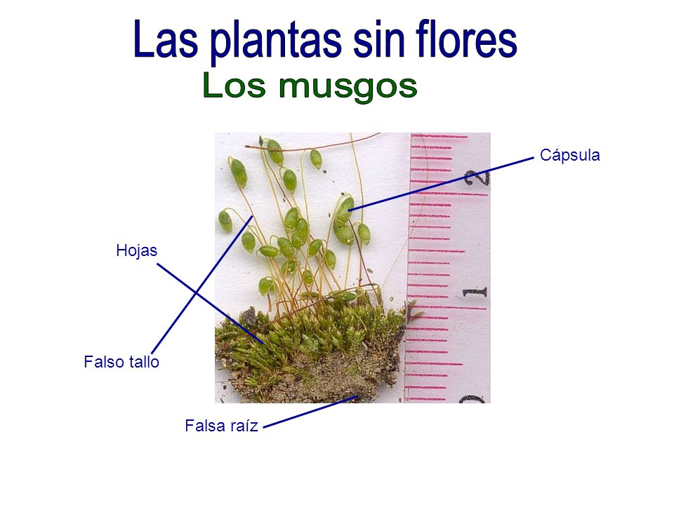 Las plantas sin flores Los musgos Cápsula Hojas Falso tallo Falsa raíz