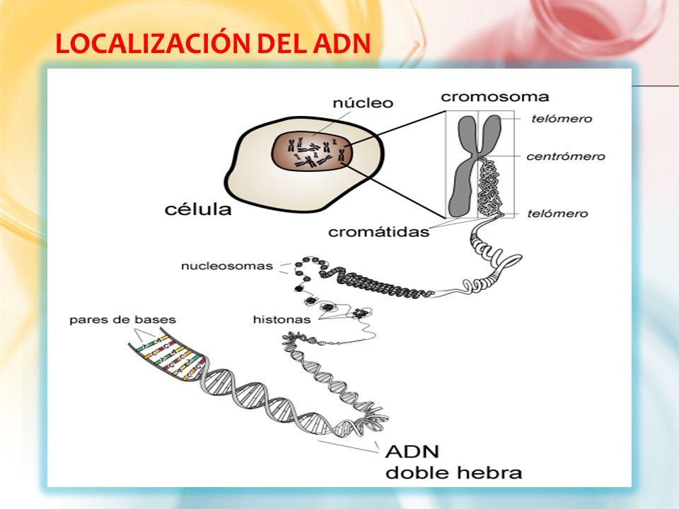 pr ctica de laboratorio modelo de adn   ppt descargar