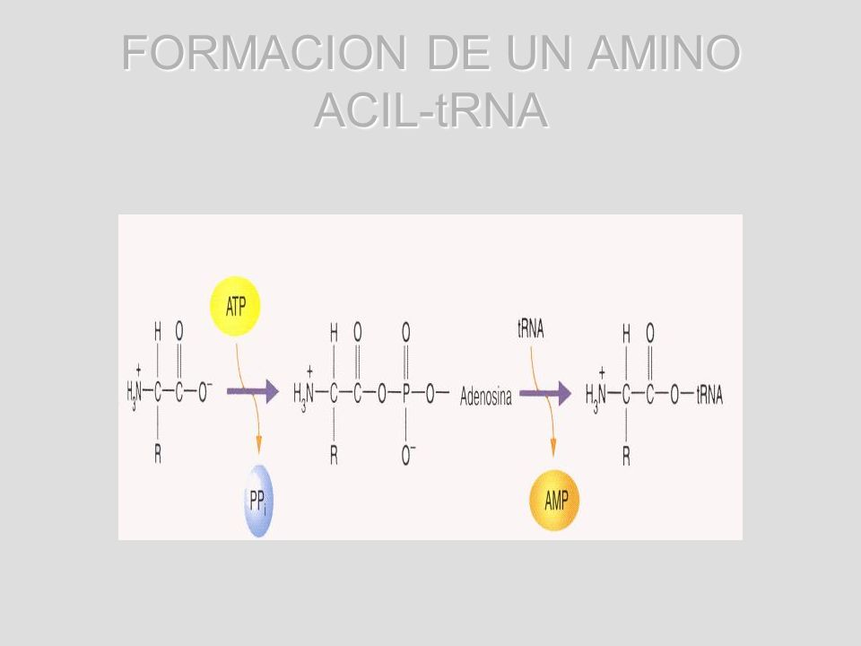 FORMACION DE UN AMINO ACIL-tRNA