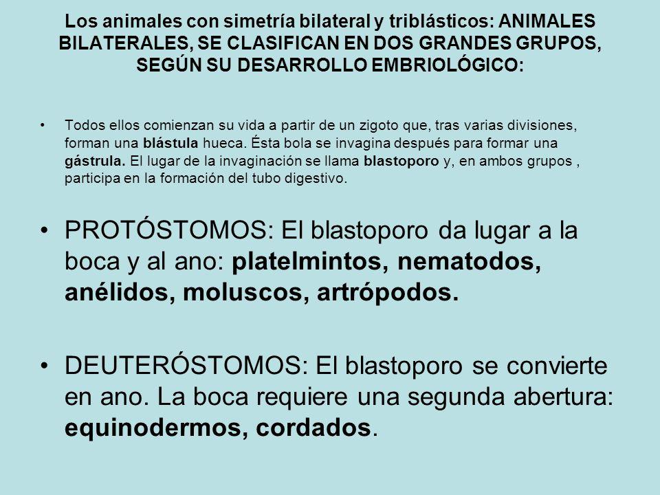Los animales con simetría bilateral y triblásticos: ANIMALES BILATERALES, SE CLASIFICAN EN DOS GRANDES GRUPOS, SEGÚN SU DESARROLLO EMBRIOLÓGICO: