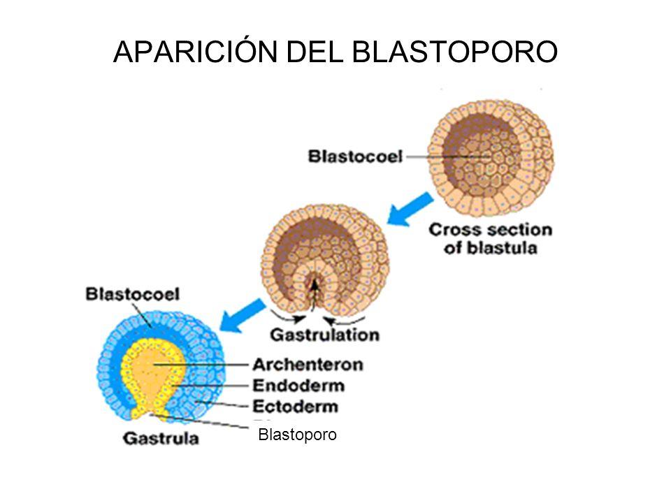 APARICIÓN DEL BLASTOPORO
