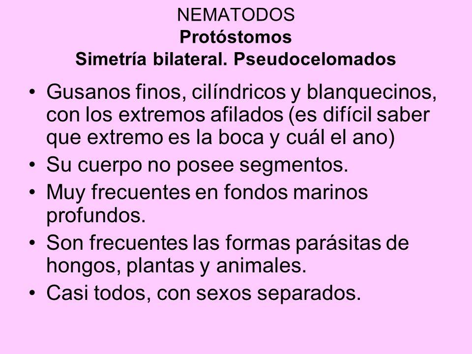 NEMATODOS Protóstomos Simetría bilateral. Pseudocelomados