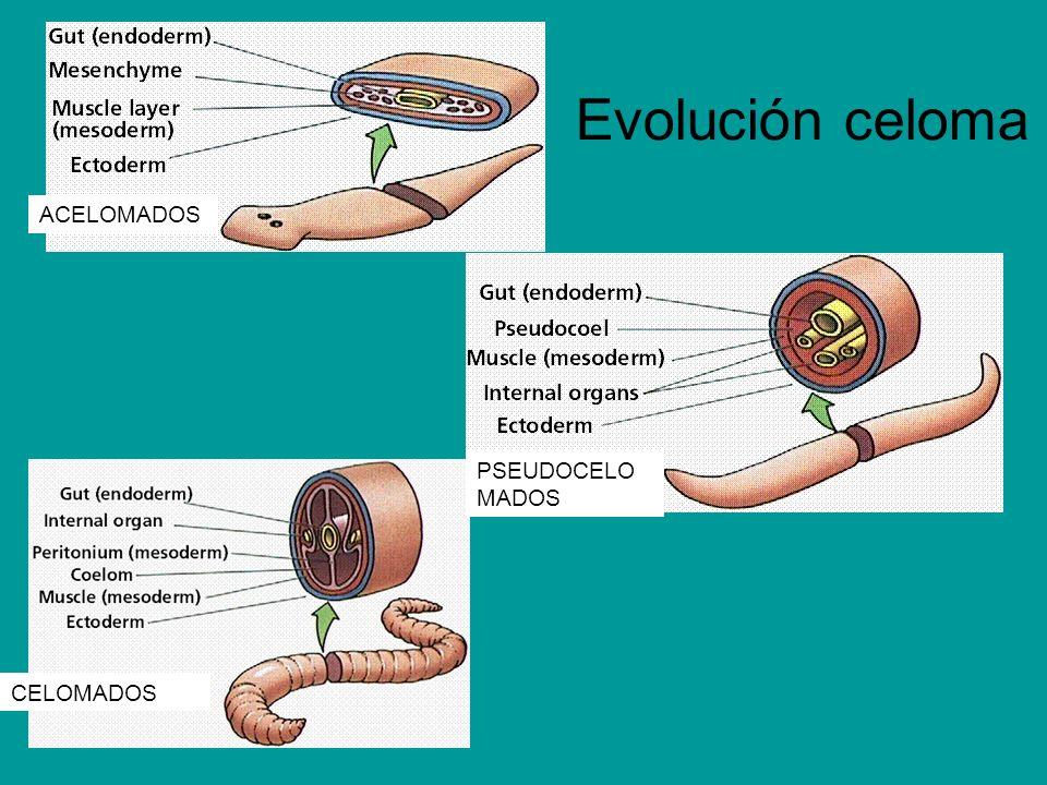 Evolución celoma ACELOMADOS PSEUDOCELOMADOS CELOMADOS