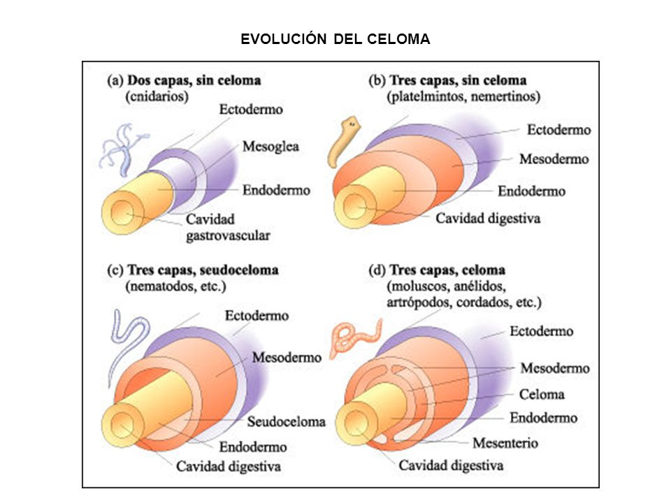 EVOLUCIÓN DEL CELOMA