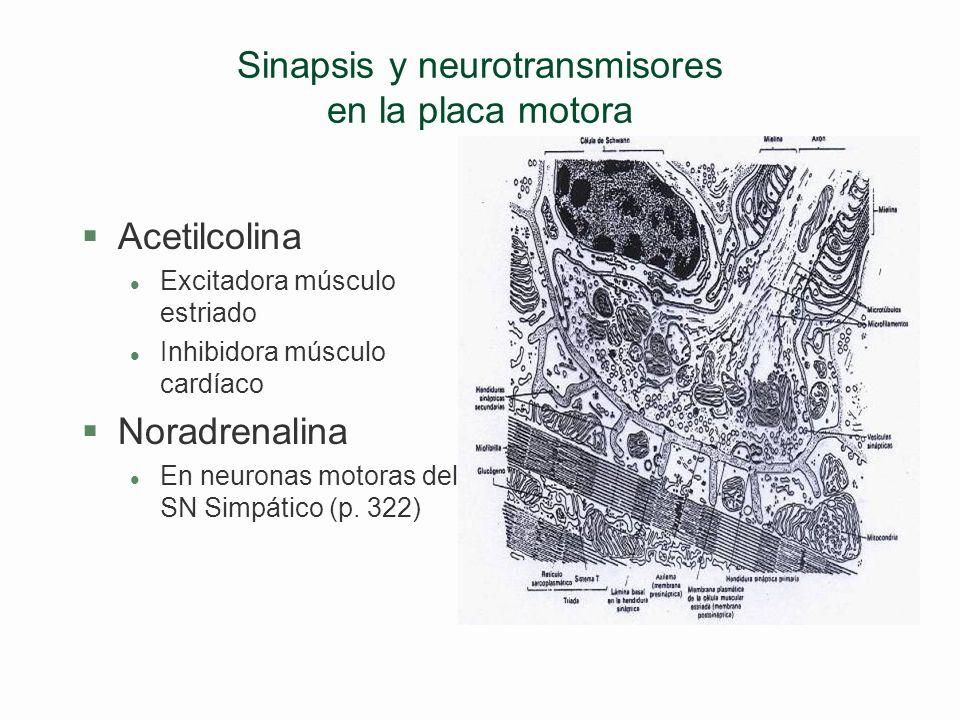 Sinapsis y neurotransmisores en la placa motora