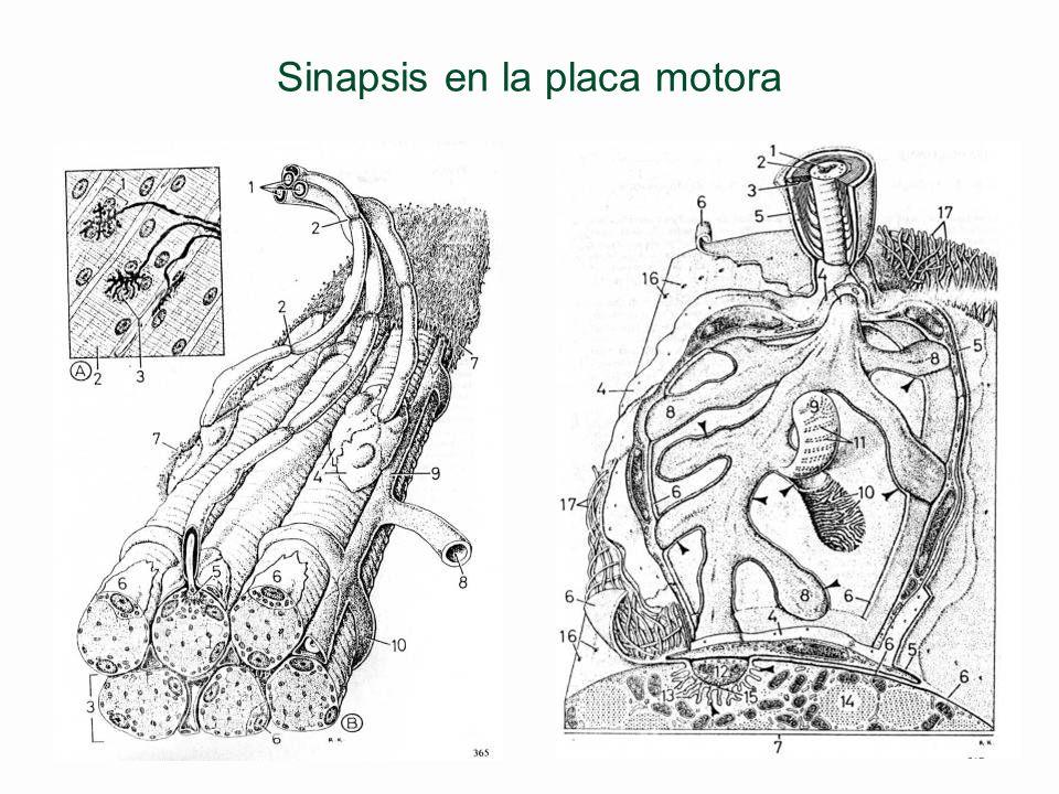 Sinapsis en la placa motora