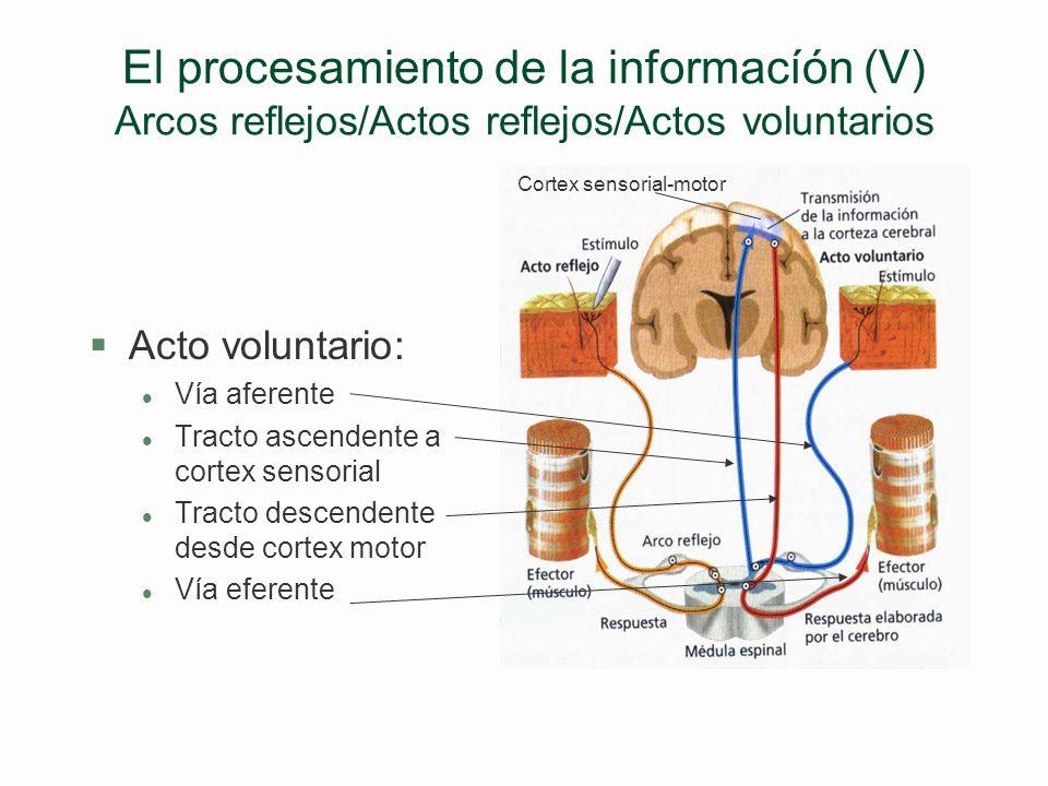 El procesamiento de la informacíón (V) Arcos reflejos/Actos reflejos/Actos voluntarios