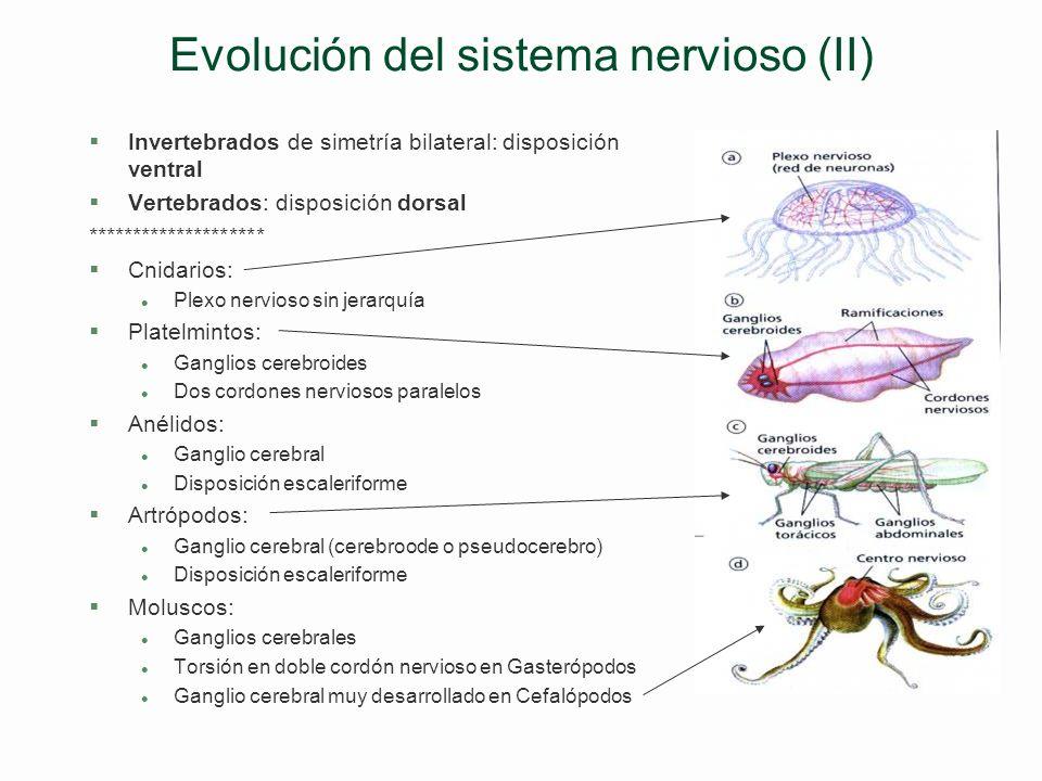 Evolución del sistema nervioso (II)