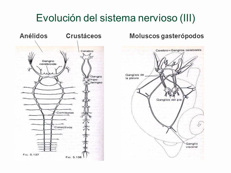 Evolución del sistema nervioso (III)