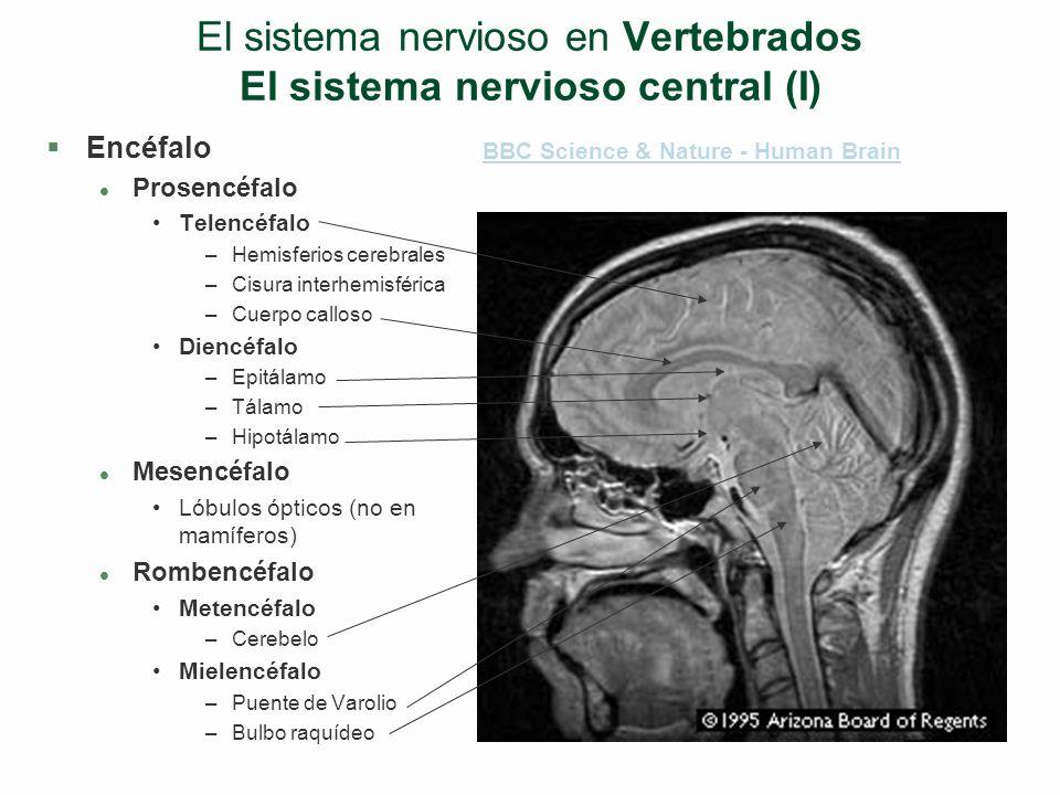 El sistema nervioso en Vertebrados El sistema nervioso central (I)