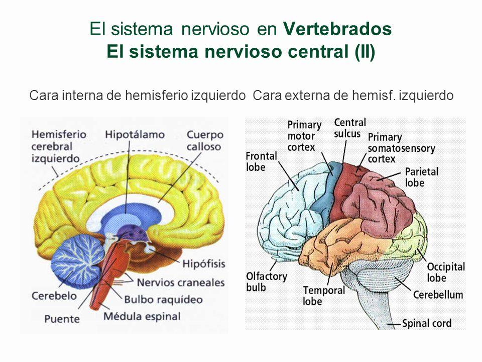 El sistema nervioso en Vertebrados El sistema nervioso central (II)
