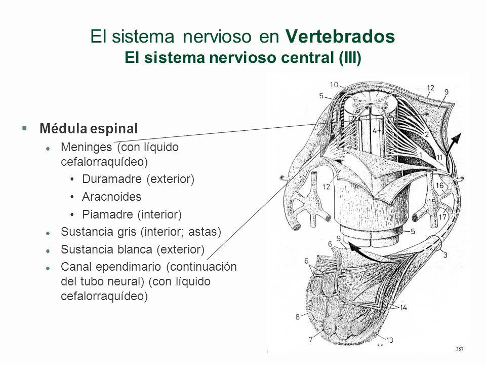 El sistema nervioso en Vertebrados El sistema nervioso central (III)