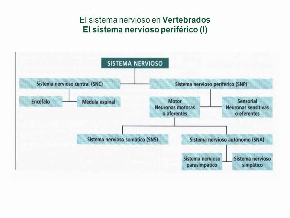 El sistema nervioso en Vertebrados El sistema nervioso periférico (I)