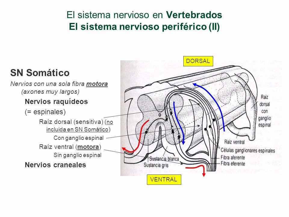 El sistema nervioso en Vertebrados El sistema nervioso periférico (II)