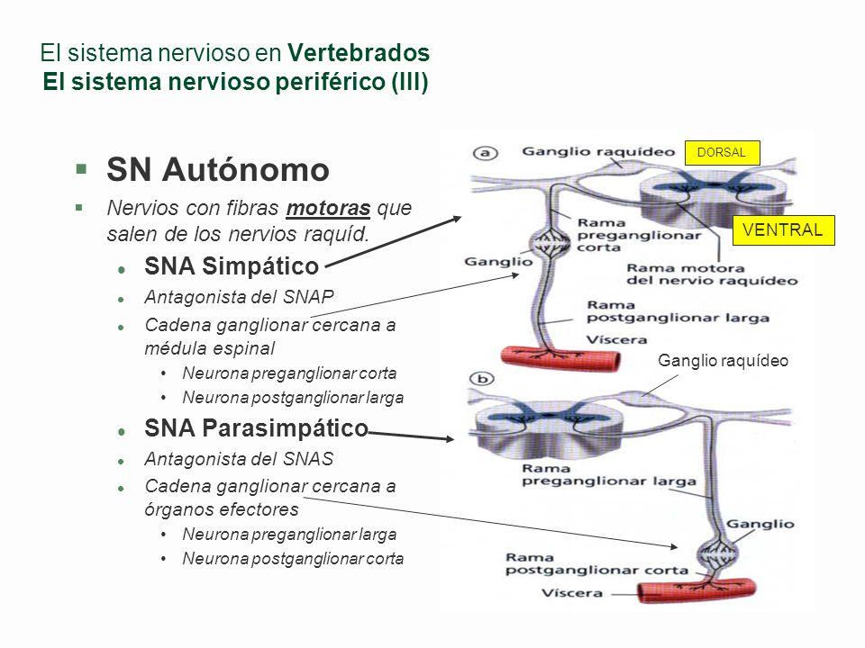 El sistema nervioso en Vertebrados El sistema nervioso periférico (III)