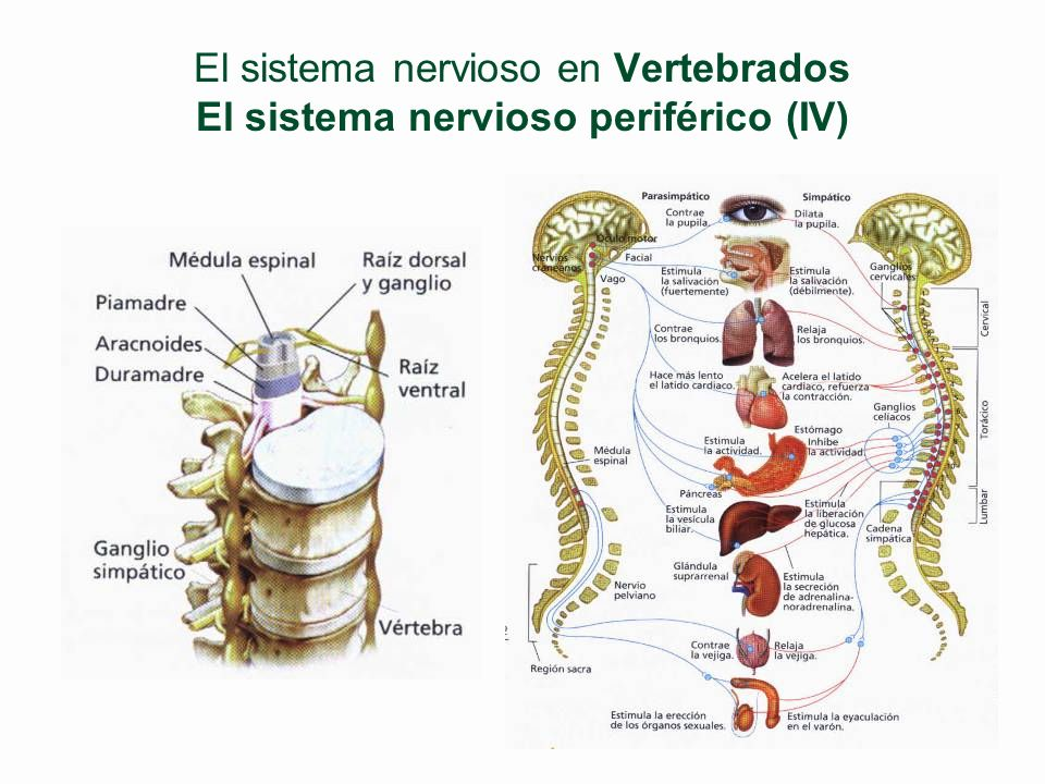 El sistema nervioso en Vertebrados El sistema nervioso periférico (IV)