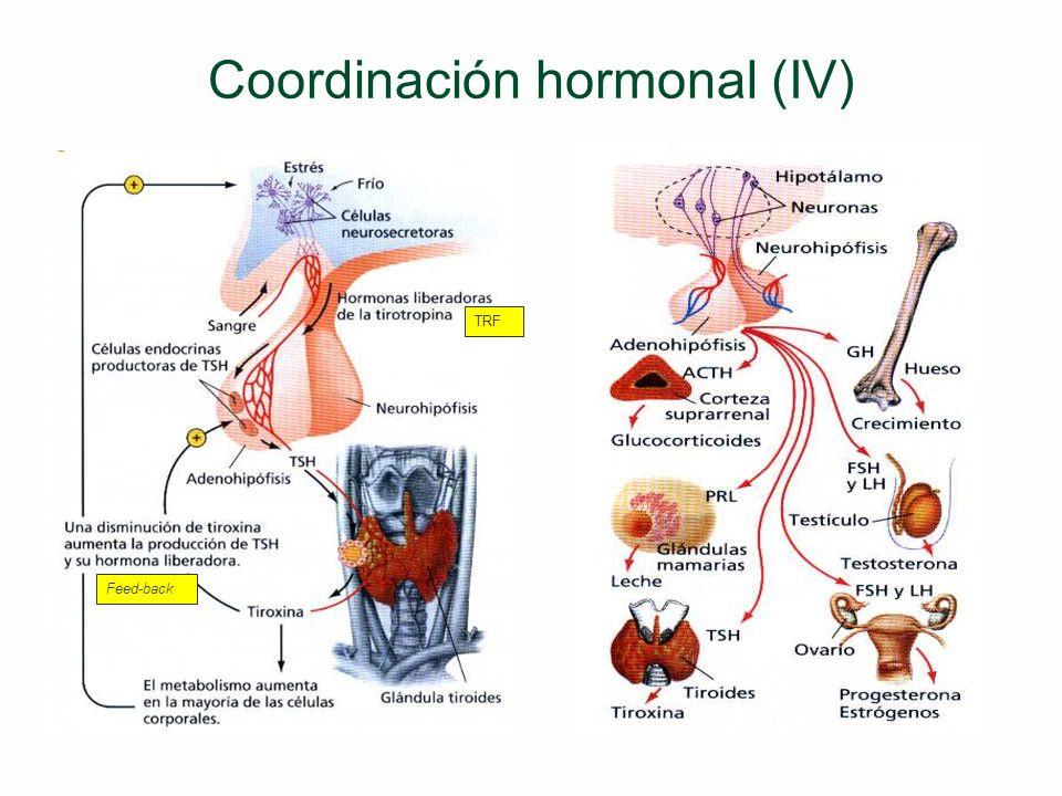 Coordinación hormonal (IV)