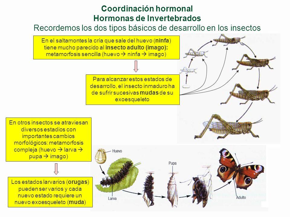 Coordinación hormonal Hormonas de Invertebrados Recordemos los dos tipos básicos de desarrollo en los insectos
