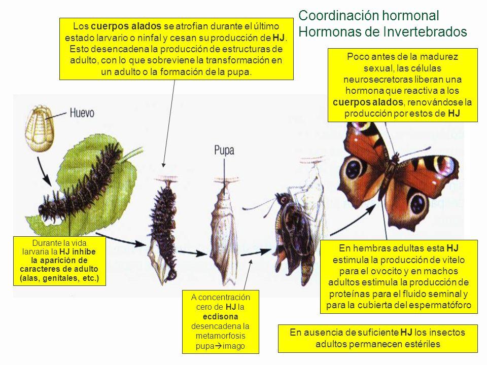 Coordinación hormonal Hormonas de Invertebrados
