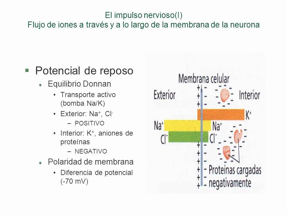 El impulso nervioso(I) Flujo de iones a través y a lo largo de la membrana de la neurona