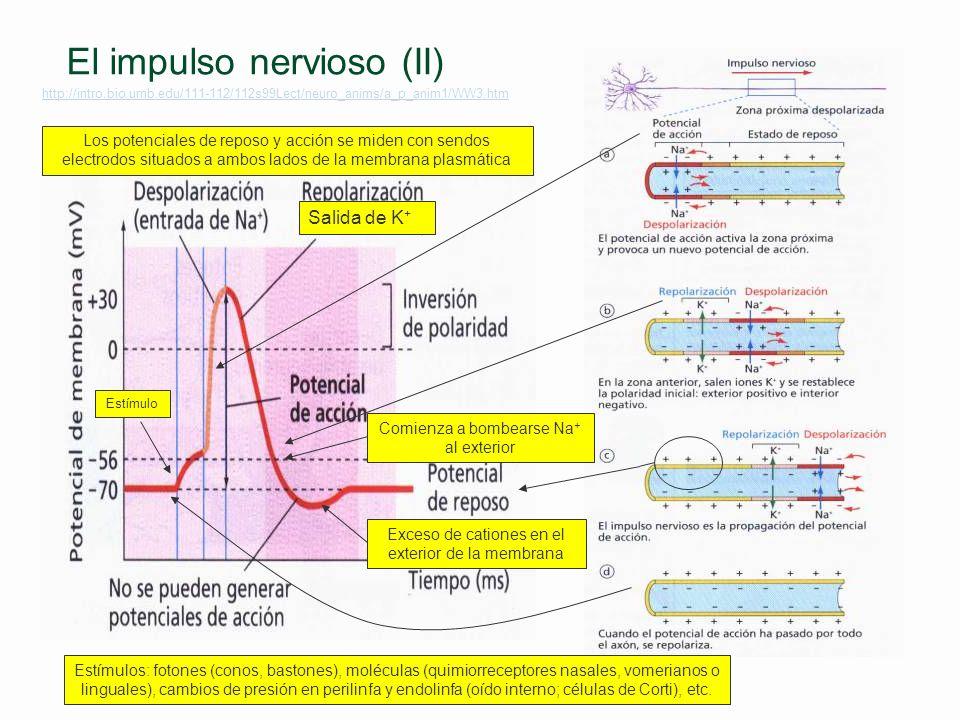 El impulso nervioso (II)