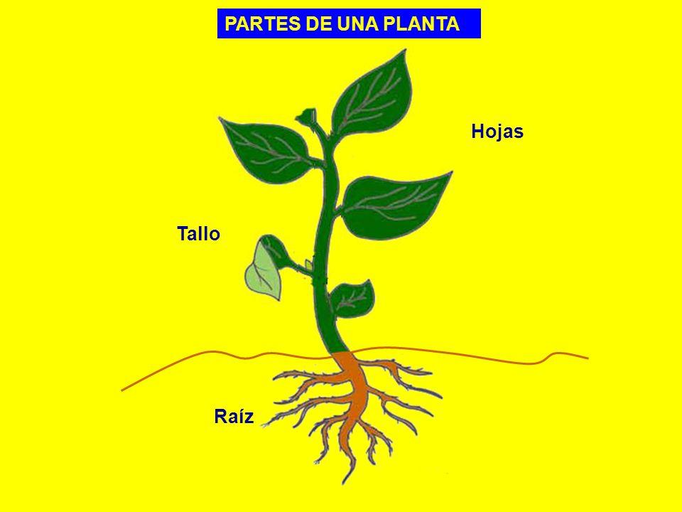 PARTES DE UNA PLANTA Hojas Tallo Raíz