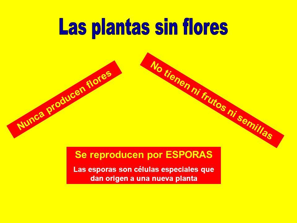 Las plantas sin flores No tienen ni frutos ni semillas