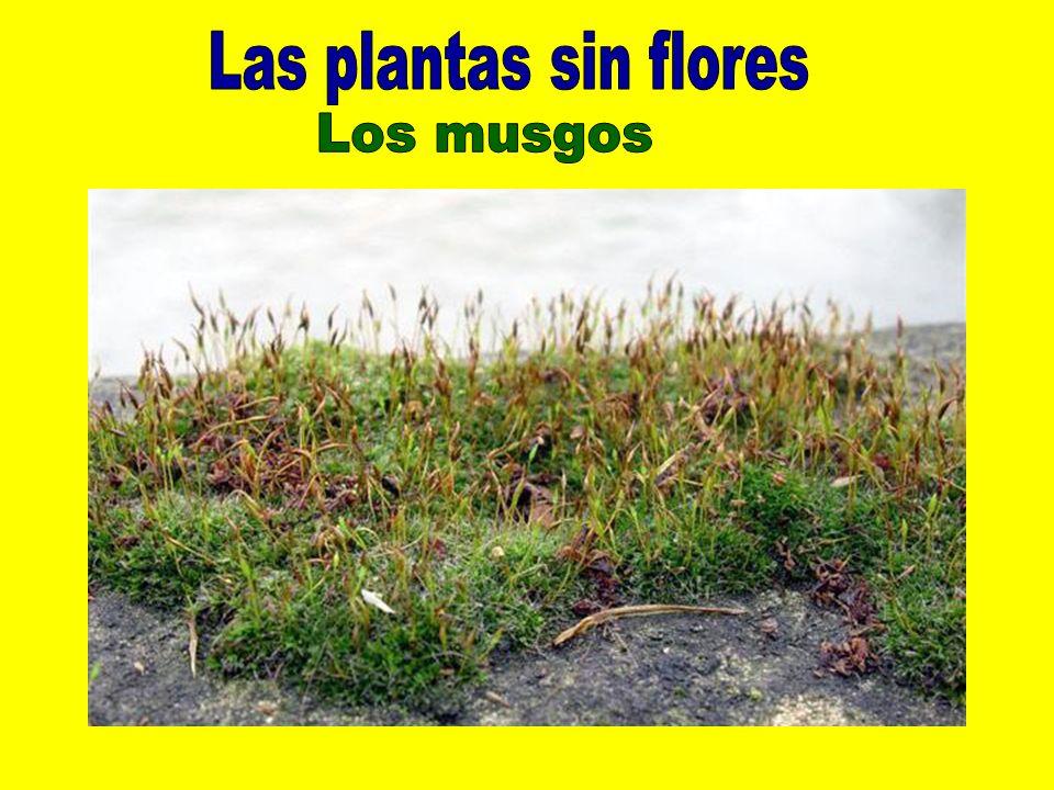 Las plantas sin flores Los musgos