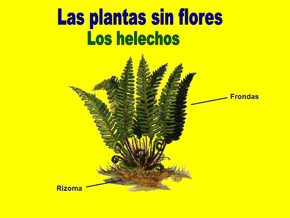 Las plantas sin flores Los helechos