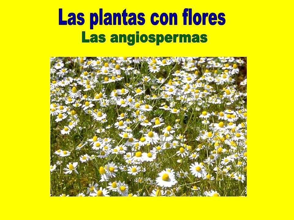 Las plantas con flores Las angiospermas