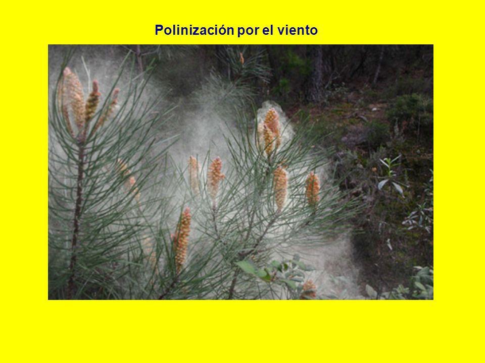 Polinización por el viento