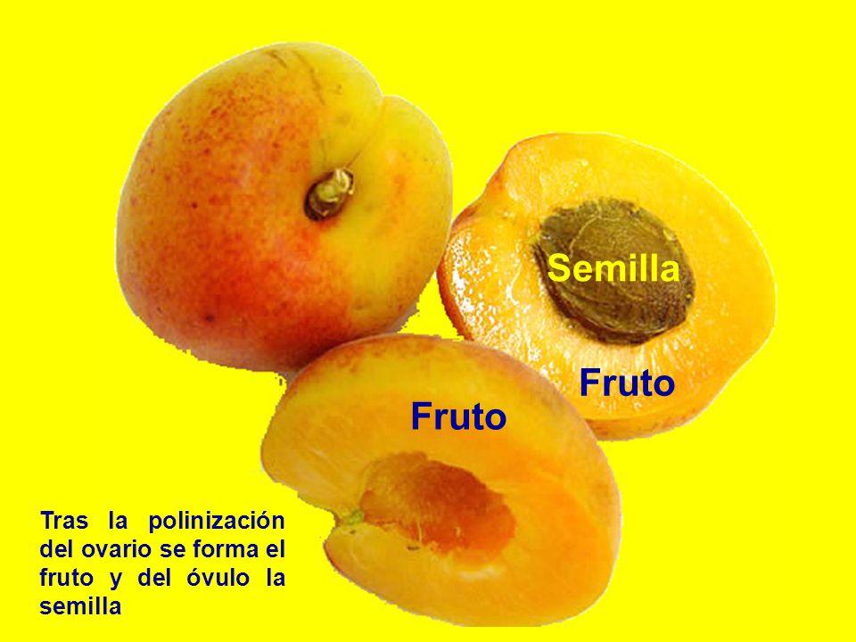 Semilla Fruto Fruto Tras la polinización del ovario se forma el fruto y del óvulo la semilla