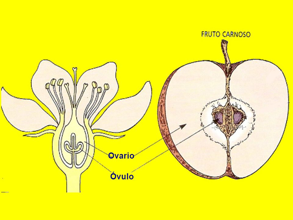 Ovario Óvulo