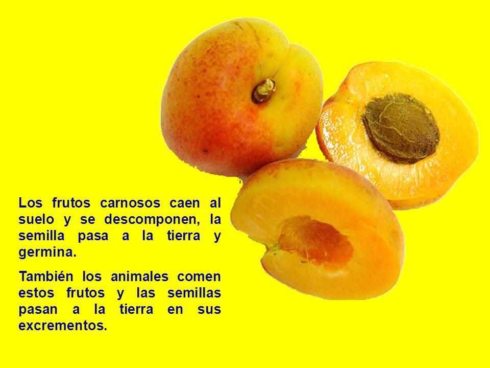 Los frutos carnosos caen al suelo y se descomponen, la semilla pasa a la tierra y germina.