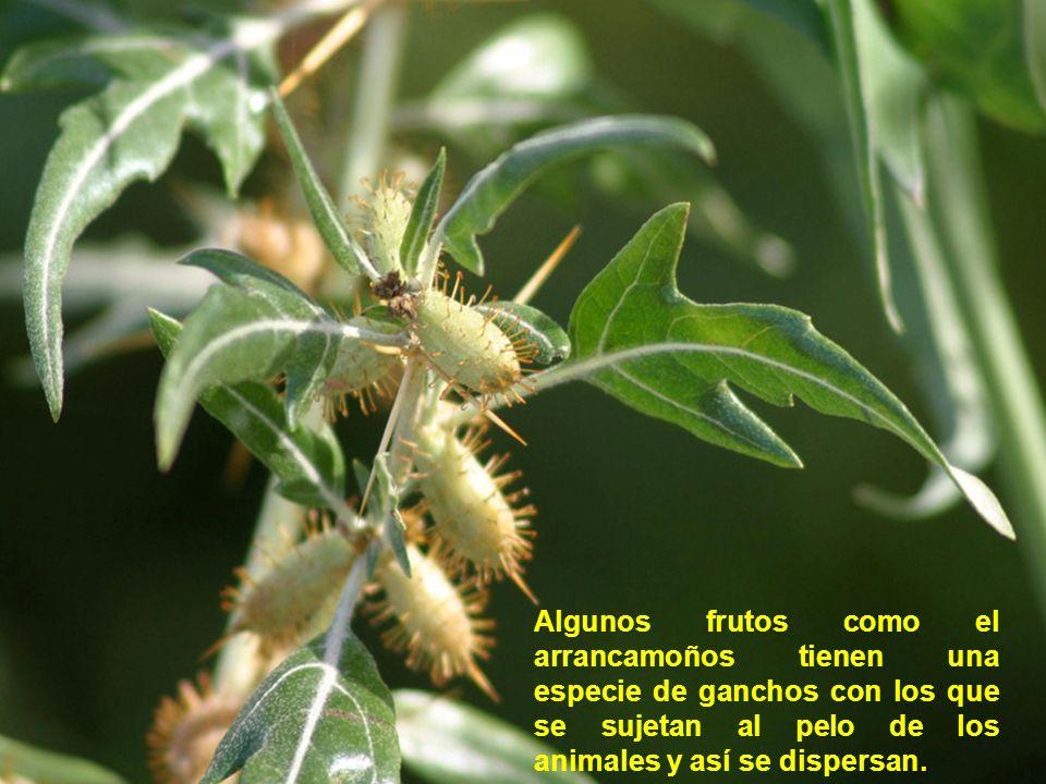 Algunos frutos como el arrancamoños tienen una especie de ganchos con los que se sujetan al pelo de los animales y así se dispersan.