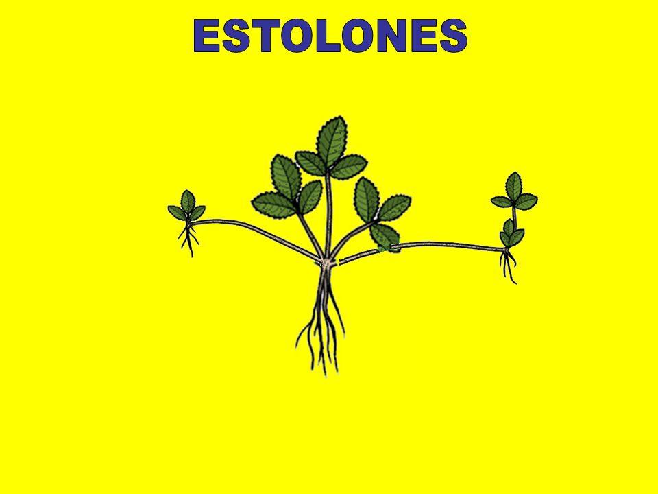 ESTOLONES